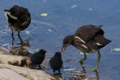 Moorhens feeding at the local pond.