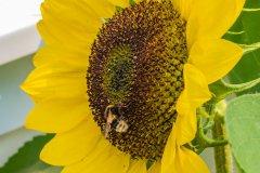 180727-sunflowers-021