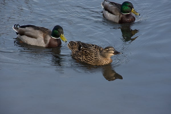 Ducks at Mating Time