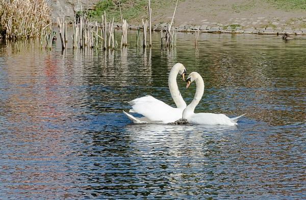 Swan Necking
