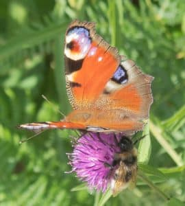 I was so busy focussing on the butterfly, that i totally missed the bee sitting underneath.